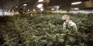 Dagga grower Ryan Douglas waters plants at Tweed Marijuana Inc in Canada. Earlier this month