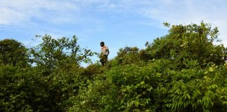 Young boys climb trees to pick fruit off trees