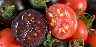 Some genetically engineered tomatoes contain high levels of the antioxidant anthocyanin