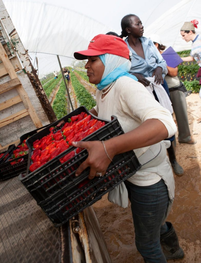 A woman packs a crate of newly picked strawberries into a trusk.
